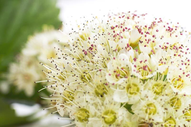 Inflorescencia de pequeñas flores en el fondo blanco, imagen de archivo