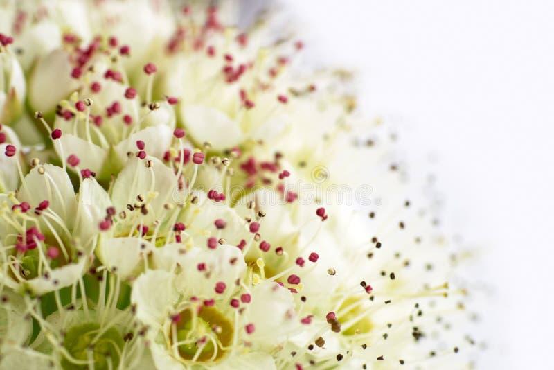 Inflorescencia de pequeñas flores en el fondo blanco, imágenes de archivo libres de regalías