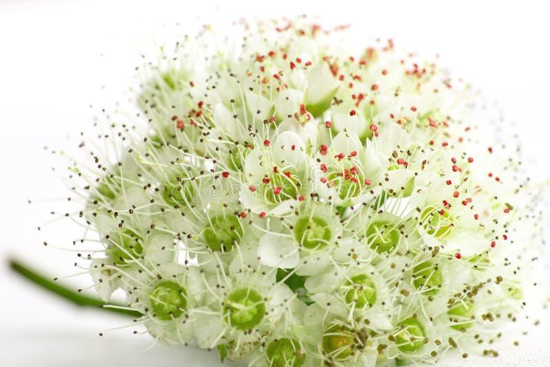 Inflorescencia de pequeñas flores en el fondo blanco, fotos de archivo