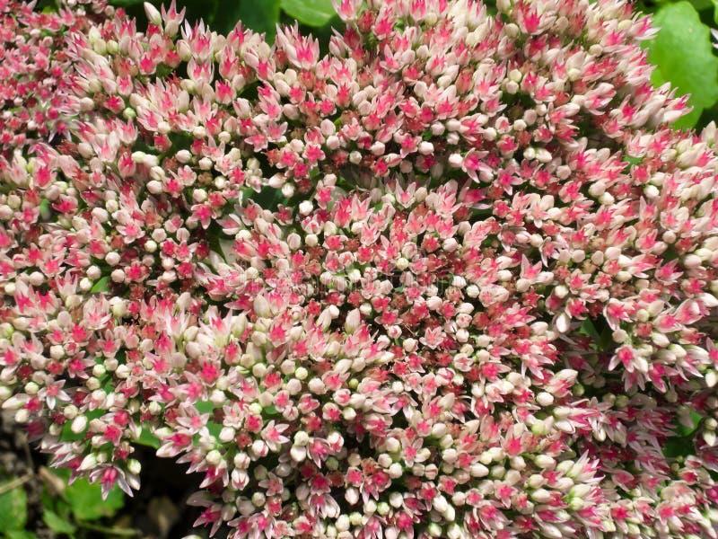 Inflorescencia de pequeñas flores rosadas blancas en el jardín del verano fotos de archivo libres de regalías
