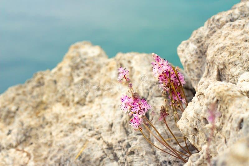Inflorescencia de pequeñas flores rosadas que crecen en las montañas foto de archivo libre de regalías