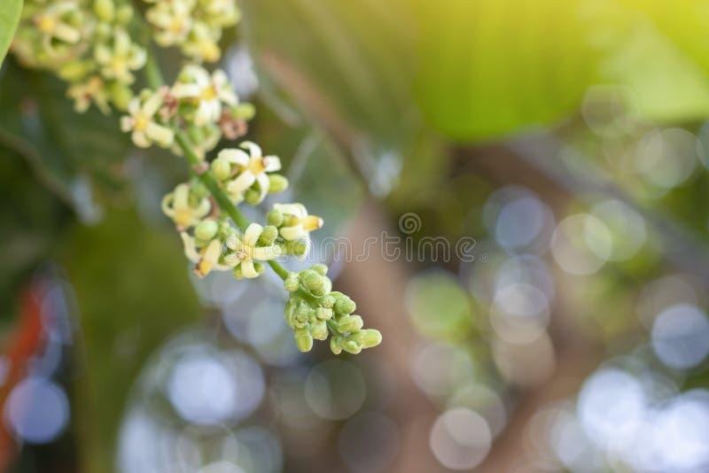 Inflorescencia de Santol o Sentul fruta Sandoricum koetjape flor en el árbol sobre fondo natural desdibujado imagen de archivo libre de regalías