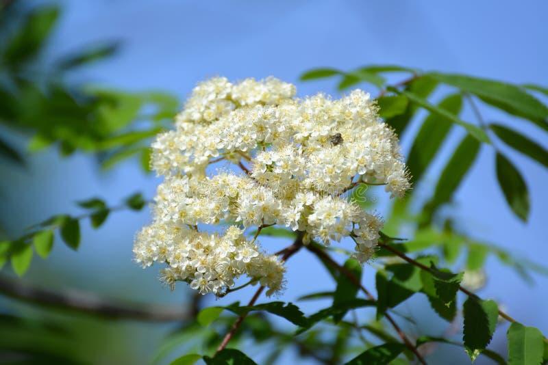 Inflorescencia de un ordinario de la ceniza de montaña (aucuparia L del Sorbus ) A imágenes de archivo libres de regalías