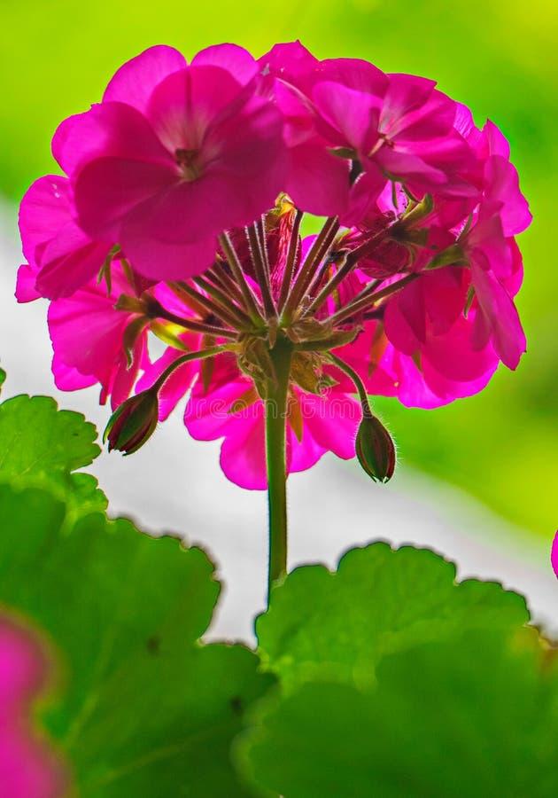 Inflorescencia de una flor rosada con varios brotes sin revelar con las hojas suculentas verdes claras imagen de archivo libre de regalías