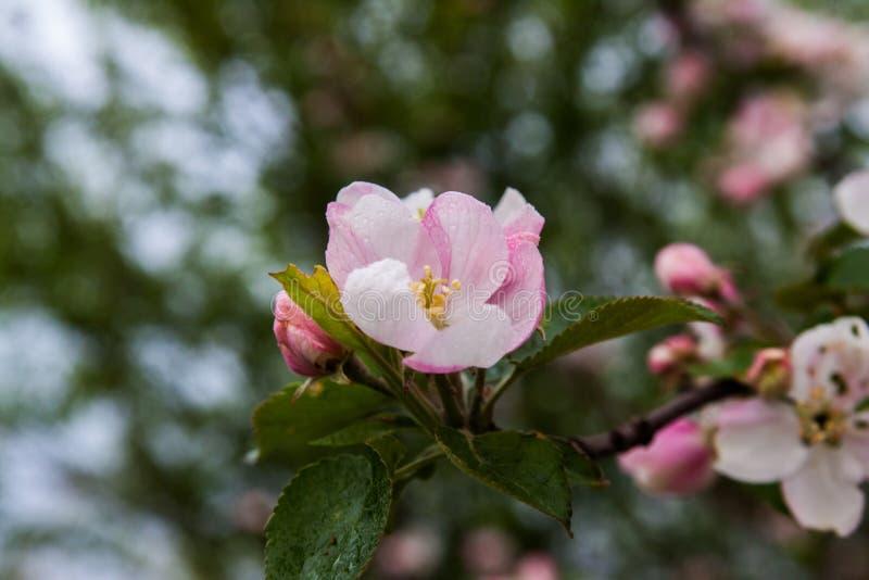 inflorescencia de una manzana foto de archivo