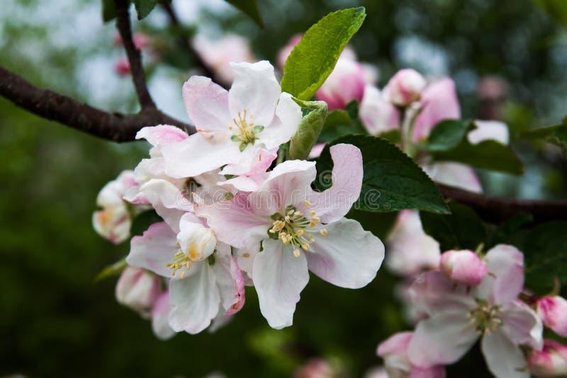inflorescencia de una manzana imagen de archivo libre de regalías
