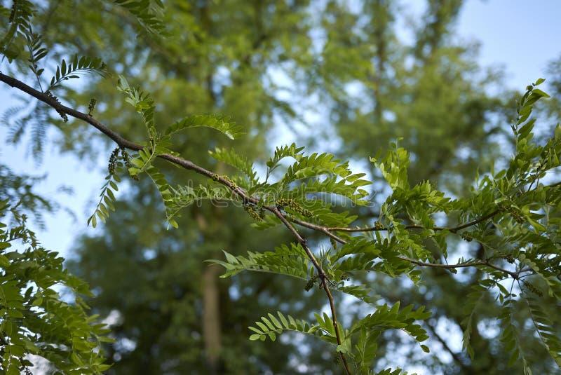 Inflorescencia del árbol de los triacanthos del Gleditsia en primavera imagenes de archivo