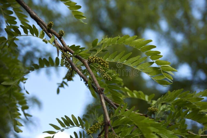 Inflorescencia del árbol de los triacanthos del Gleditsia en primavera foto de archivo libre de regalías