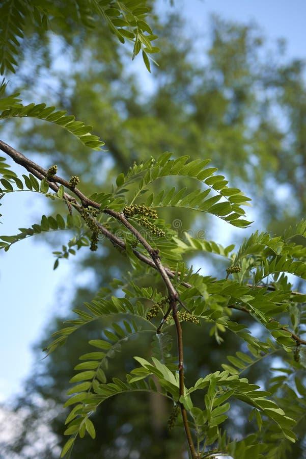 Inflorescencia del árbol de los triacanthos del Gleditsia en primavera fotografía de archivo
