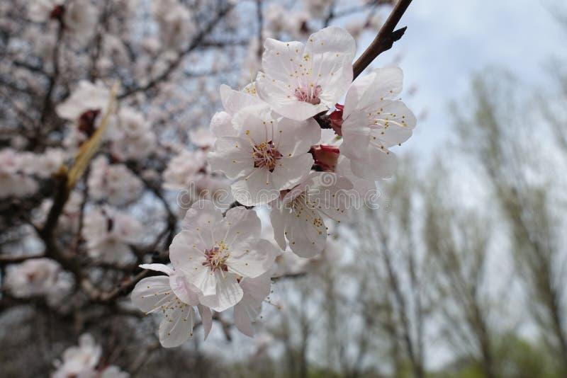 Inflorescencia del albaricoque en primavera temprana imágenes de archivo libres de regalías
