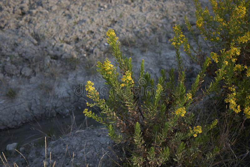 Inflorescencia del amarillo del viscosa de Dittrichia fotografía de archivo