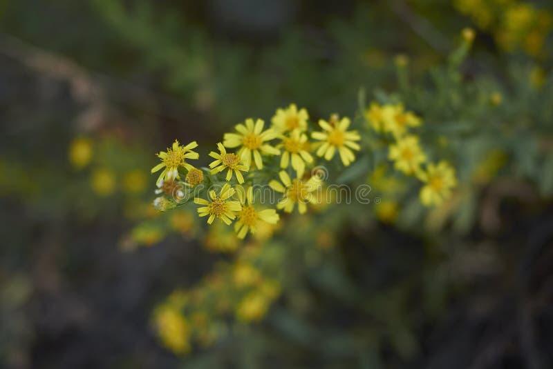 Inflorescencia del amarillo del viscosa de Dittrichia fotos de archivo libres de regalías
