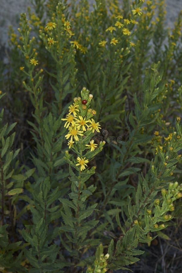 Inflorescencia del amarillo del viscosa de Dittrichia foto de archivo libre de regalías