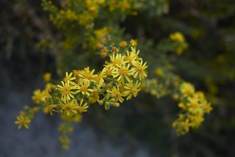 Inflorescencia del amarillo del viscosa de Dittrichia imagenes de archivo