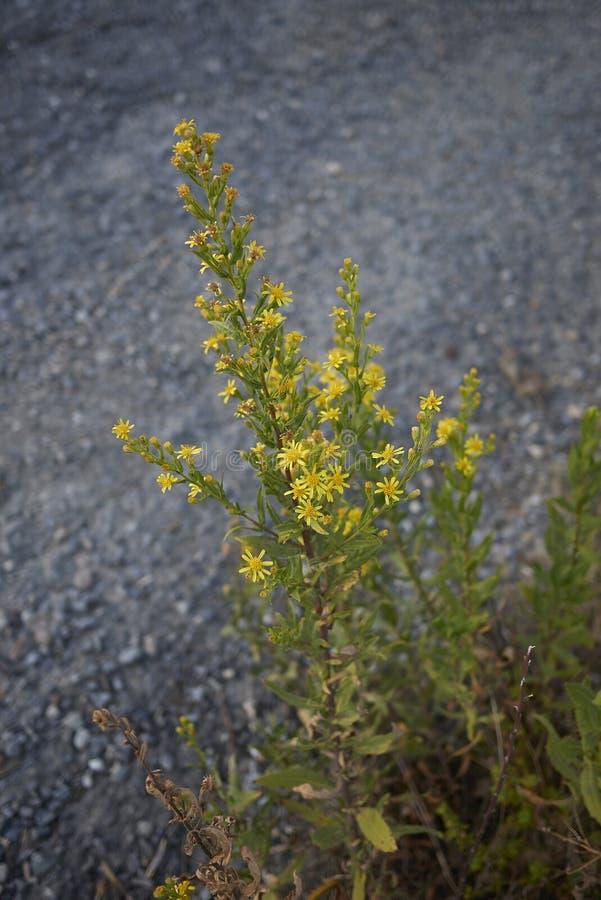 Inflorescencia del amarillo del viscosa de Dittrichia fotos de archivo