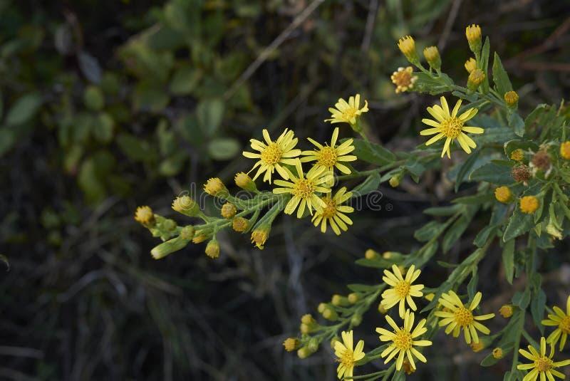 Inflorescencia del amarillo del viscosa de Dittrichia fotografía de archivo libre de regalías