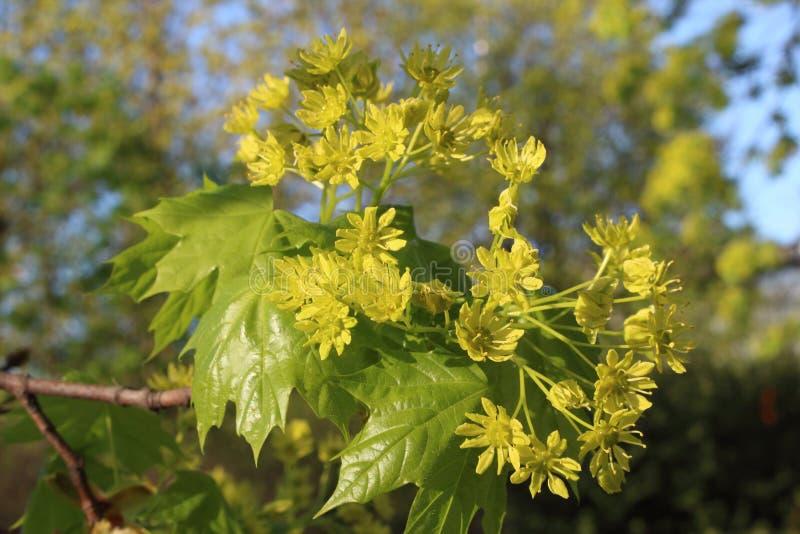Inflorescencia del arce por la tarde de la primavera imagenes de archivo