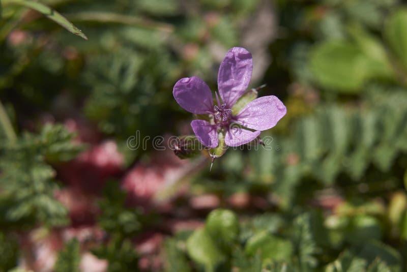 Inflorescencia del cicutarium del Erodium imágenes de archivo libres de regalías
