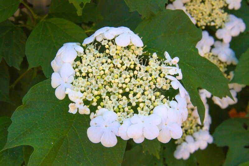 Inflorescencia del cierre del viburnum para arriba imagen de archivo