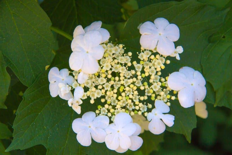 Inflorescencia del cierre del viburnum para arriba fotos de archivo