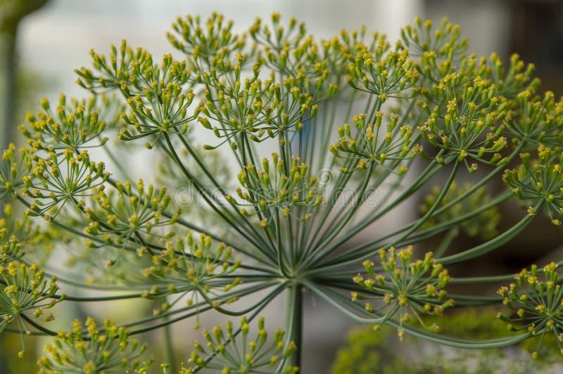 Inflorescencia del eneldo con las flores amarillas fotos de archivo libres de regalías