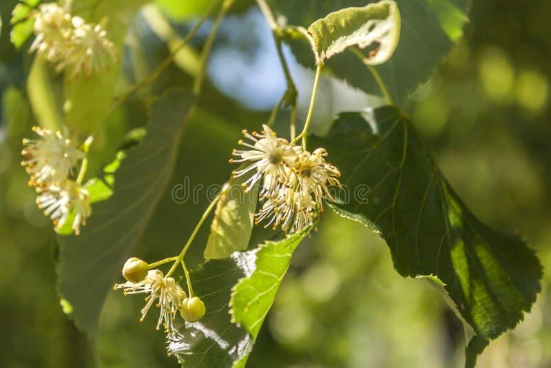 Inflorescencia del flor del tilo encendida brillantemente por el sol imagenes de archivo