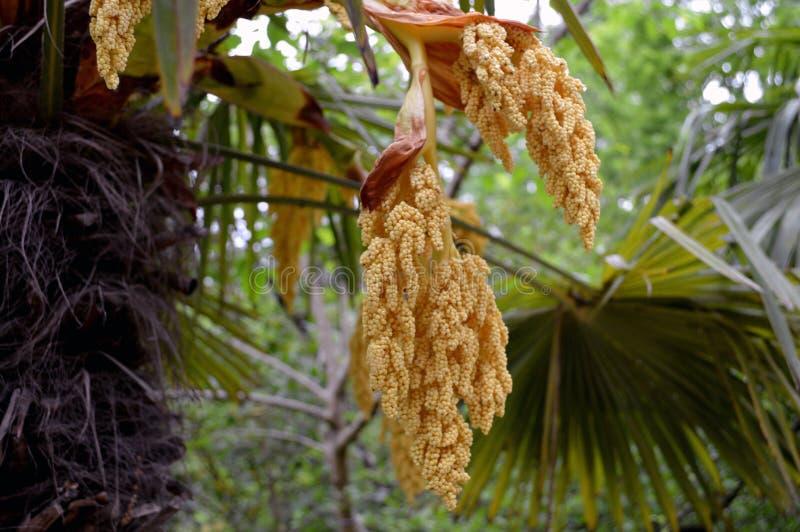 Inflorescencia del fortunei del trachycarpus imagen de archivo libre de regalías