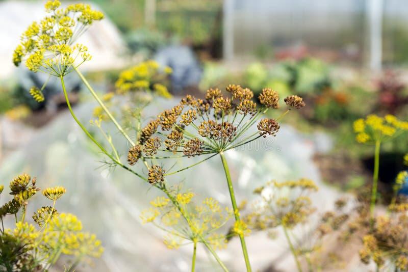 Inflorescencia del paraguas del eneldo con las semillas maduras en un huerto en otoño imagenes de archivo