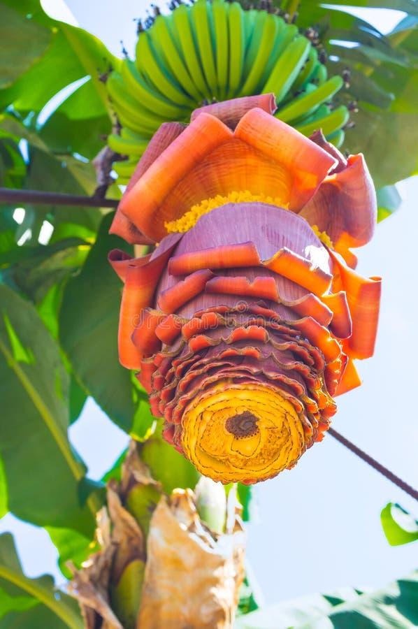 Inflorescencia del plátano imagen de archivo libre de regalías