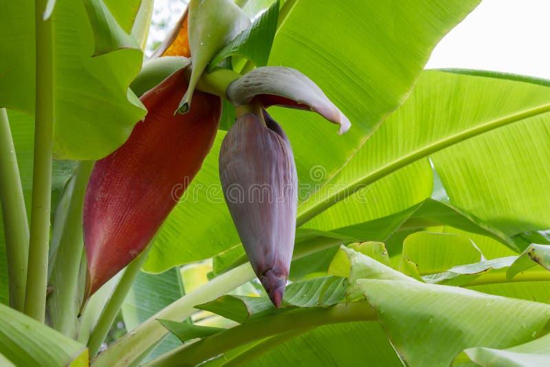 Inflorescencia del plátano de la flor del plátano imágenes de archivo libres de regalías