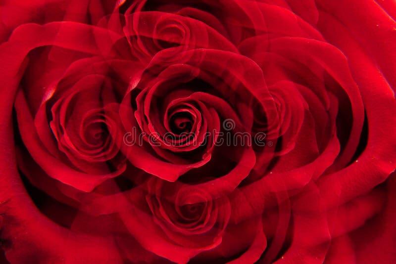Inflorescencia del primer de la rosa del rojo foto de archivo libre de regalías