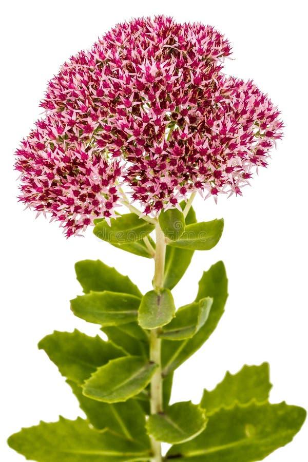 Inflorescencia del primer de la uva de gato de las flores, lat Sedum Spectabile imagen de archivo