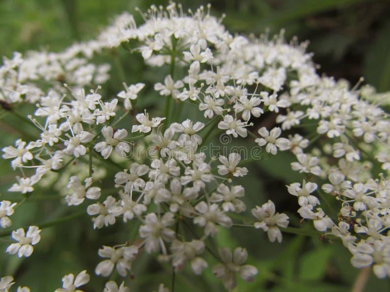 Inflorescencia del primer macro floreciente de los pequeños wildflowers blancos en un fondo verde imagenes de archivo