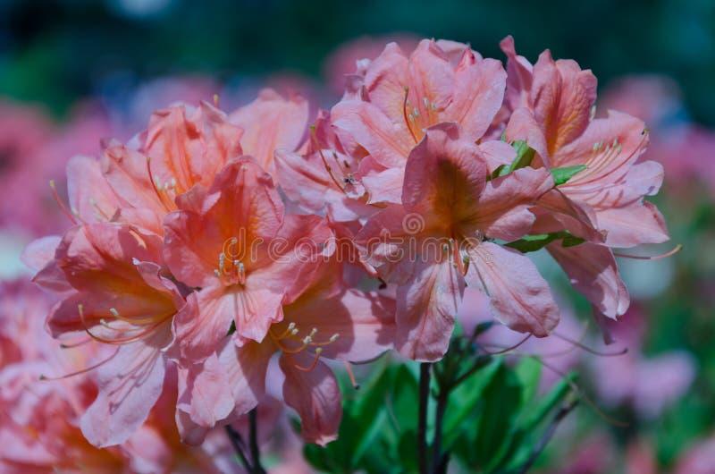 Inflorescencia del rododendro en un arbusto con las hojas verdes imagen de archivo libre de regalías