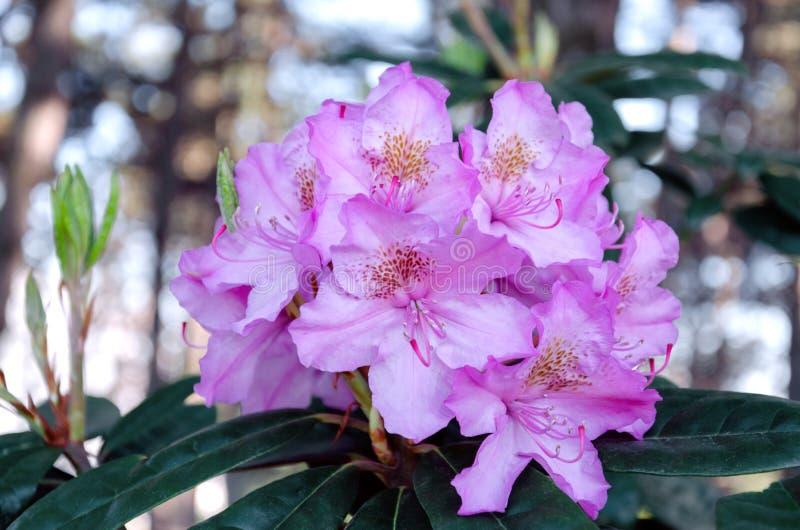 Inflorescencia del rododendro en un arbusto imagen de archivo