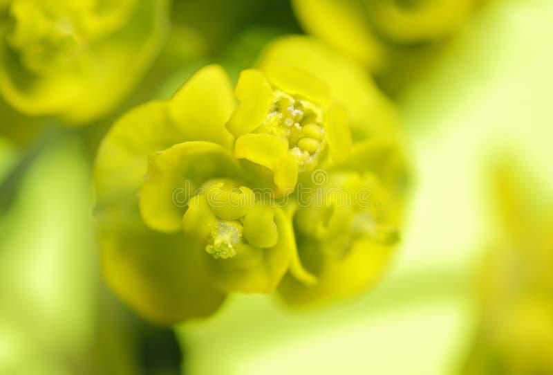 Inflorescencia del spurge de Cypress (cyparissias del euforbio) foto de archivo