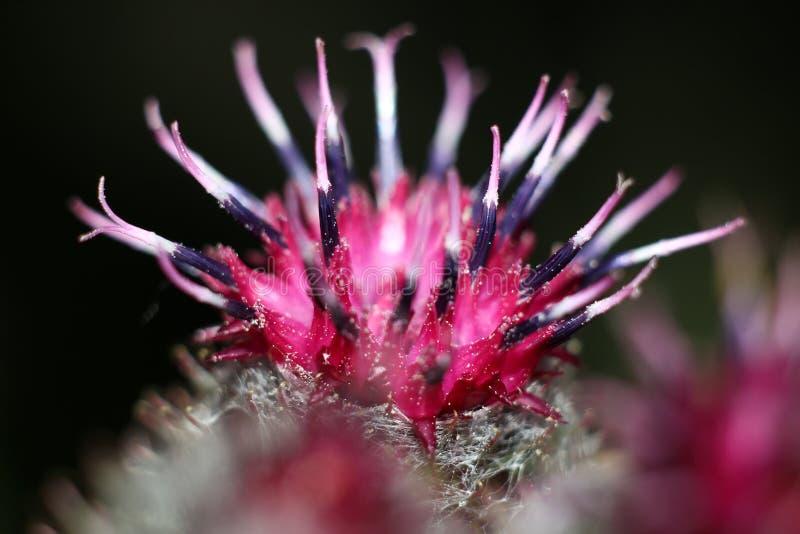 Inflorescencia del tomentosum lanoso del Arctium de la bardana fotografía de archivo