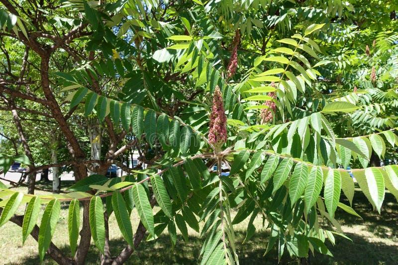 Inflorescencia en el leafage del árbol de vinagre fotos de archivo libres de regalías
