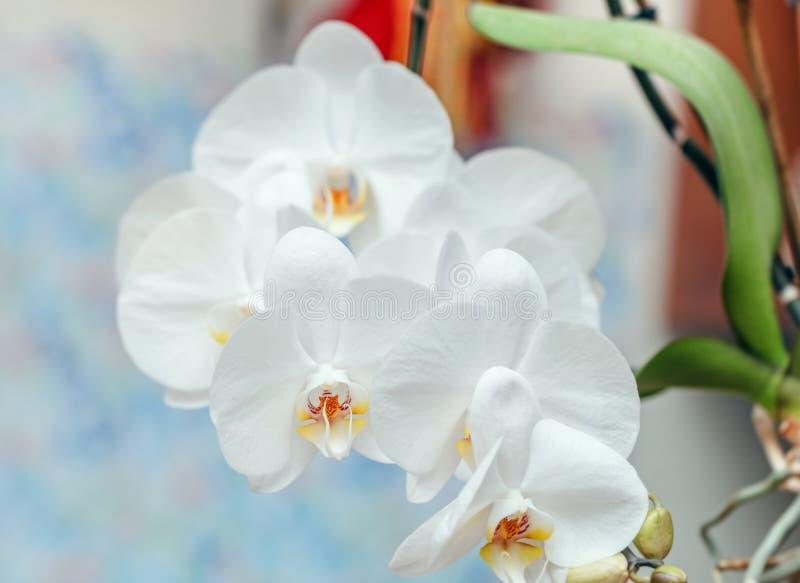 Inflorescencia enorme de las orquídeas blancas fotografía de archivo libre de regalías