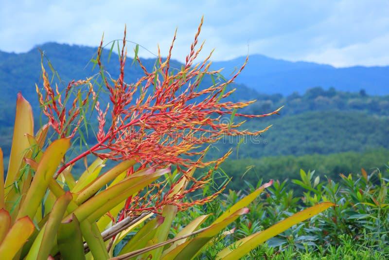 Inflorescencia erguida magnífica brácteas y flores rojas visibles, blanchetiana de un panicle flojo de ramas múltiples de Aechmea foto de archivo libre de regalías