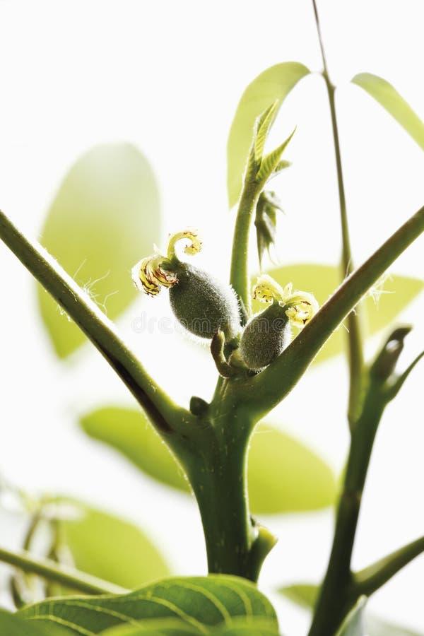 Inflorescencia femenina de la nuez con las hojas fotos de archivo