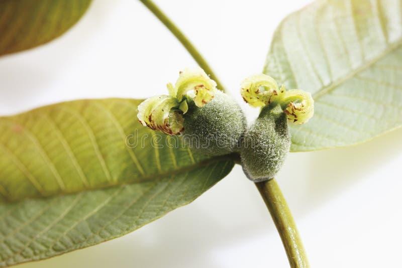 Inflorescencia femenina de la nuez con las hojas imagen de archivo
