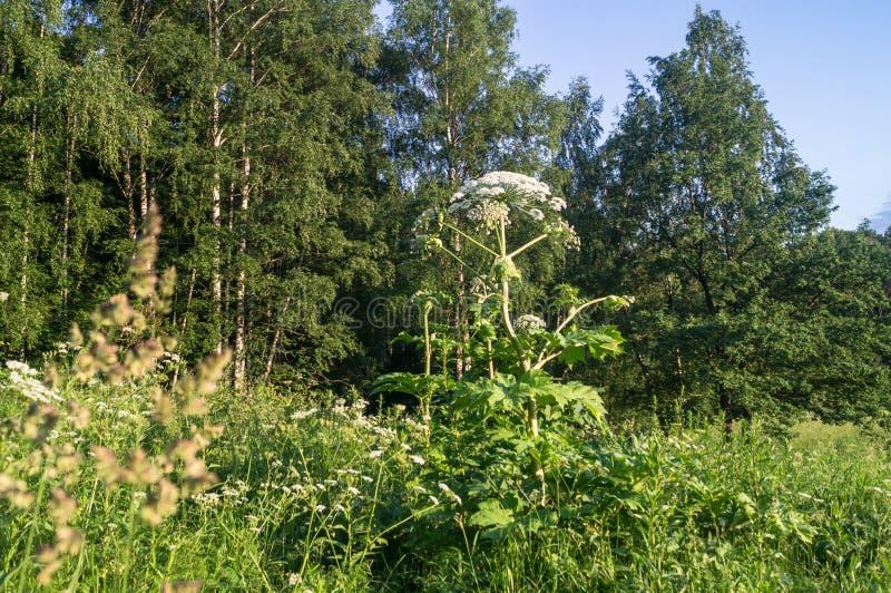 Inflorescencia floreciente del gigante hogweed foto de archivo