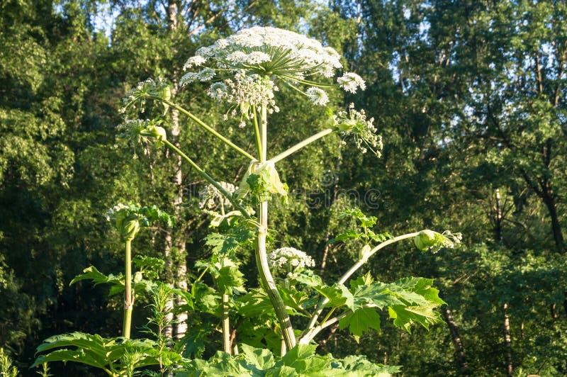 Inflorescencia floreciente del gigante hogweed fotografía de archivo