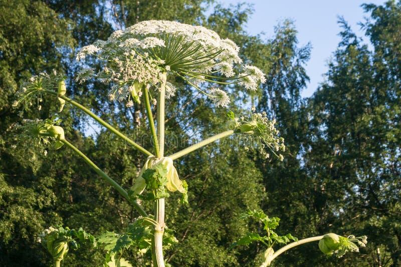 Inflorescencia floreciente del gigante hogweed fotografía de archivo libre de regalías