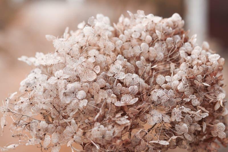Inflorescencia hermosa de las flores descoloradas secas en estilo del vintage, primer de la hortensia Te floral monocromático sua imágenes de archivo libres de regalías