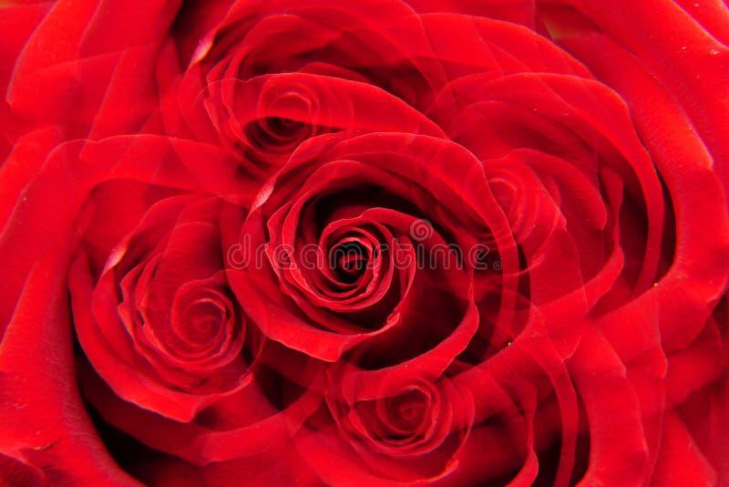 Inflorescencia macra de la rosa del rojo fotografía de archivo