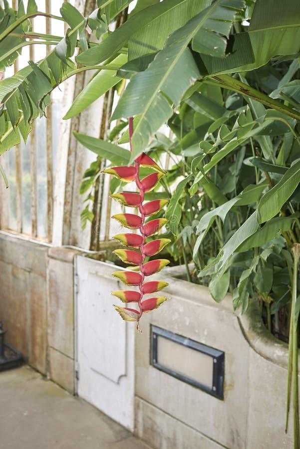 Inflorescencia multicolora del rostrata de Heliconia fotos de archivo libres de regalías