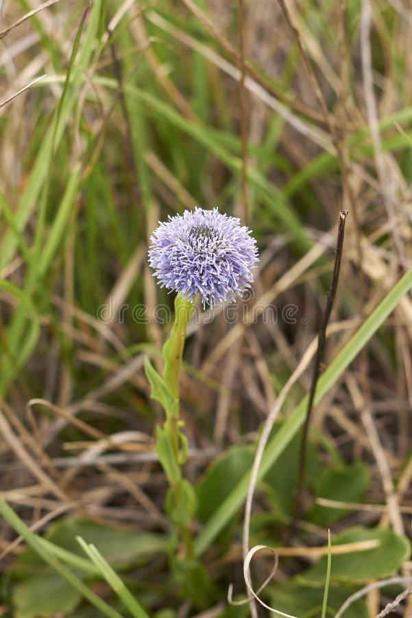 Inflorescencia púrpura de Globularia Punctata fotografía de archivo