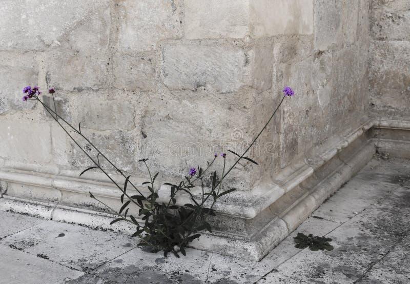 Inflorescencia púrpura en el fondo de la piedra foto de archivo